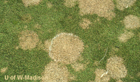 Stand Symptoms: circular grayish or straw colored blighted areas, after snow melt grayish white mycelium can be seen on the outer margins