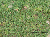 Plant Symptoms: dense clusters of yellow shoots that pull easily from the turf